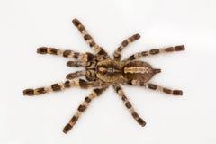Δενδρικό tarantula, tigrinawesseli Poecilotheria από ανατολικό Ghats, Ινδία στοκ εικόνα