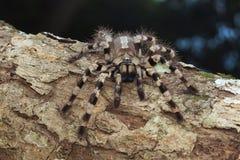 Δενδρικό tarantula, tigrinawesseli Poecilotheria στοκ εικόνες με δικαίωμα ελεύθερης χρήσης