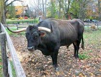 Δεν πήρε το κανένα Bull εδώ στοκ εικόνες με δικαίωμα ελεύθερης χρήσης