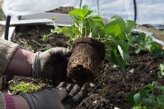 Δενδρύλλια των earthlings στο θερμοκήπιο Στοκ εικόνα με δικαίωμα ελεύθερης χρήσης