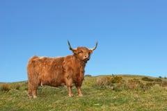 δεξιά ορεινή περιοχή αγελάδων Στοκ Φωτογραφία