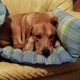 Δεξιός το σκυλί Στοκ Φωτογραφίες
