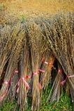 δεσμεύστε το ξηρό φυτό συγκομιδών Στοκ φωτογραφίες με δικαίωμα ελεύθερης χρήσης