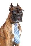 Δεσμός και γυαλιά σκυλιών μπόξερ Στοκ Εικόνα