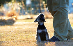 Δεσμός της αγάπης, της αγάπης & της πίστης μεταξύ ενός σκυλιού κουταβιών & ενός ατόμου Στοκ εικόνα με δικαίωμα ελεύθερης χρήσης