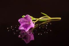 Δευτερεύον λουλούδι Vinca Στοκ φωτογραφία με δικαίωμα ελεύθερης χρήσης