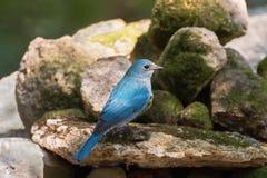 Δευτερεύον σχεδιάγραμμα του θηλυκού πουλιού Verditer Flycatcher στην μπλε στάση Στοκ Φωτογραφίες