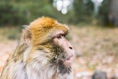 Δευτερεύον σχεδιάγραμμα του προσώπου, πίθηκος Βαρβαρίας macaque, Ifrane, Μαρόκο Στοκ εικόνα με δικαίωμα ελεύθερης χρήσης