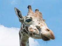 Δευτερεύον giraffe κεφάλι στο υπόβαθρο μπλε ουρανού Στοκ φωτογραφίες με δικαίωμα ελεύθερης χρήσης