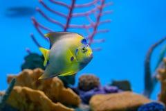 Δευτερεύων-άποψη της βασίλισσας angelfish στο ενυδρείο Στοκ Φωτογραφίες