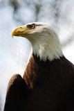 Δευτερεύων φαλακρός αετός πορτρέτου (Haliaeetus Leucocephalus) Στοκ Εικόνα