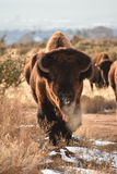 Δελτίο Buffalo βισώνων Στοκ φωτογραφία με δικαίωμα ελεύθερης χρήσης