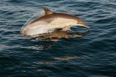 Δελφίνια άλματος. Στοκ Φωτογραφία