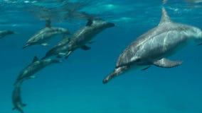 Δελφίνια κλωστών που περνούν τα snorkelers φιλμ μικρού μήκους