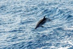 Δελφίνια πηδώντας στη βαθιά μπλε θάλασσα Στοκ φωτογραφία με δικαίωμα ελεύθερης χρήσης