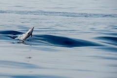 Δελφίνια πηδώντας στη βαθιά μπλε θάλασσα Στοκ Εικόνες