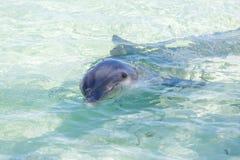 Δελφίνια στην καραϊβική θάλασσα χρωματισμένος cayo βραδύτατος πολυ φοίνικας τρία της Κούβας δέντρα στοκ φωτογραφία με δικαίωμα ελεύθερης χρήσης