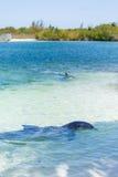 Δελφίνια στην καραϊβική θάλασσα χρωματισμένος cayo βραδύτατος πολυ φοίνικας τρία της Κούβας δέντρα στοκ εικόνες με δικαίωμα ελεύθερης χρήσης
