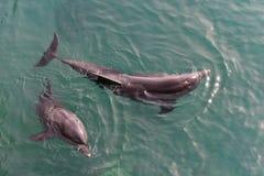 Δελφίνια στη Ερυθρά Θάλασσα Στοκ φωτογραφία με δικαίωμα ελεύθερης χρήσης