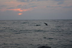 Δελφίνια στο ηλιοβασίλεμα στην παραλία Jeddah Ερυθρών Θαλασσών Στοκ Φωτογραφίες