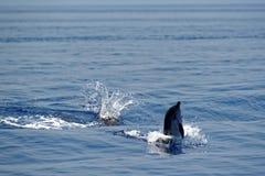 Δελφίνια στο Κόλπο της Γένοβας Στοκ εικόνες με δικαίωμα ελεύθερης χρήσης