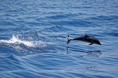 Δελφίνια στο Κόλπο της Γένοβας Στοκ Εικόνα