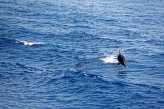 Δελφίνια στο Κόλπο της Γένοβας Στοκ Φωτογραφία