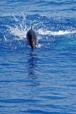 Δελφίνια στο Κόλπο της Γένοβας Στοκ Εικόνες