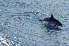 Δελφίνια στο Κόλπο της Γένοβας Στοκ εικόνα με δικαίωμα ελεύθερης χρήσης