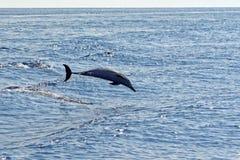 Δελφίνια στο Κόλπο της Γένοβας Στοκ φωτογραφίες με δικαίωμα ελεύθερης χρήσης