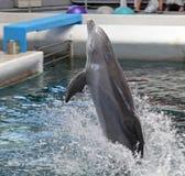 Δελφίνια στο dolphinarium Στοκ φωτογραφίες με δικαίωμα ελεύθερης χρήσης