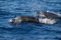 Δελφίνια Bottlenose που ταξιδεύουν στην ομάδα Στοκ Φωτογραφίες