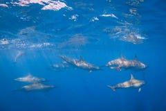 Δελφίνι κλωστών στοκ φωτογραφία