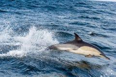 Δελφίνι, που κολυμπά στον ωκεανό Στοκ Εικόνα