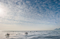 Δελφίνι που πηδά από το ύδωρ Στοκ Εικόνες