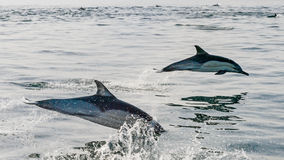 Δελφίνι που πηδά από το ύδωρ Στοκ φωτογραφία με δικαίωμα ελεύθερης χρήσης