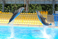 Δελφίνι που πηδά μέσω ενός δαχτυλιδιού Στοκ Εικόνα