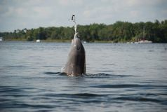 Δελφίνι που πιάνει τα ψάρια στον ποταμό κρυστάλλου στη Φλώριδα Στοκ φωτογραφίες με δικαίωμα ελεύθερης χρήσης