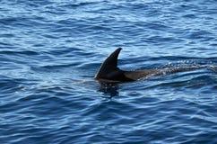Δελφίνι Bottlenose που ξαφρίζει την επιφάνεια Στοκ Φωτογραφία