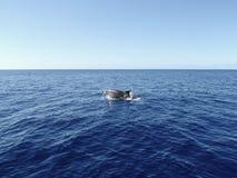 Δελφίνι Bottlenose που σπάζει την επιφάνεια Στοκ Φωτογραφίες