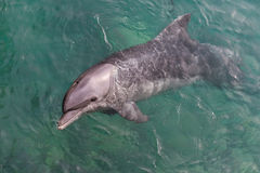 Δελφίνι Bottlenose στη Ερυθρά Θάλασσα Στοκ Φωτογραφίες