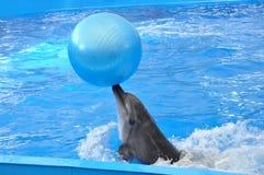 Δελφίνι Bottlenose στο μπλε νερό με την μπλε σφαίρα Στοκ Εικόνες