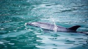 Δελφίνι Bottlenose Στοκ εικόνα με δικαίωμα ελεύθερης χρήσης