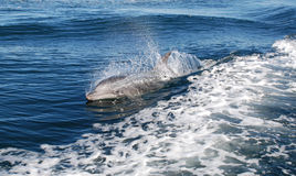 Δελφίνι Bottlenose Στοκ φωτογραφία με δικαίωμα ελεύθερης χρήσης
