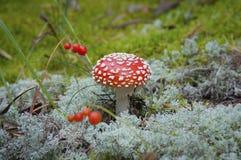 Δηλητηριώδες αγαρικό μυγών μανιταριών στο βρύο φθινοπώρου στοκ εικόνες