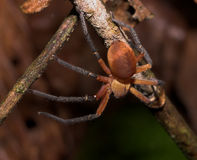 δηλητηριώδης κόκκινη αράχνη στοκ εικόνα