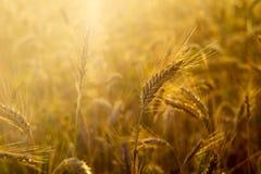 Δημητριακά στον τομέα σε μια ηλιόλουστη ημέρα, σιτάρι στοκ φωτογραφίες