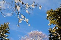Δημιουργικό υπόβαθρο - χαμηλότερη άποψη σχετικά με τους nude κλάδους που καλύπτονται με το χιόνι και τα υψηλά δέντρα πεύκων στο μ Στοκ Φωτογραφίες
