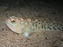 Δηλητηριώδες και δηλητηριώδες μεγαλύτερο weever ψαριών (draco Trachinus) επάνω Στοκ Εικόνες