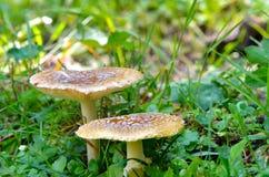Δηλητηριώδες μανιτάρι - Amanita muscaria Στοκ Εικόνες